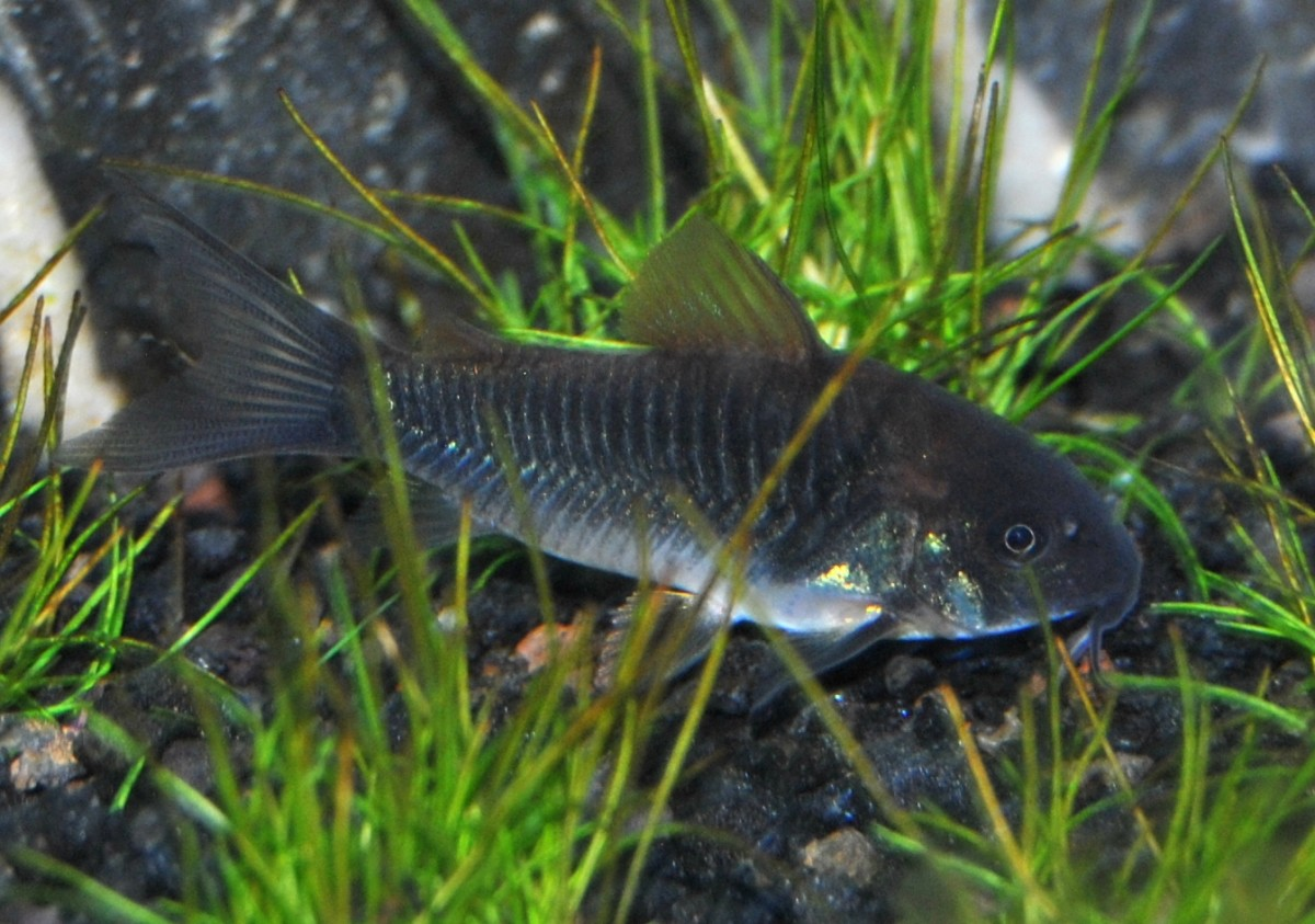 Small Green Cory Cat added to aquarium two weeks before adding more fish.