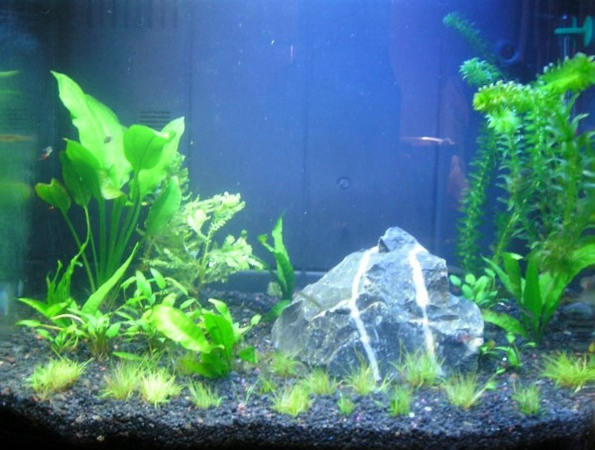 The aquarium soon after adding the fish.