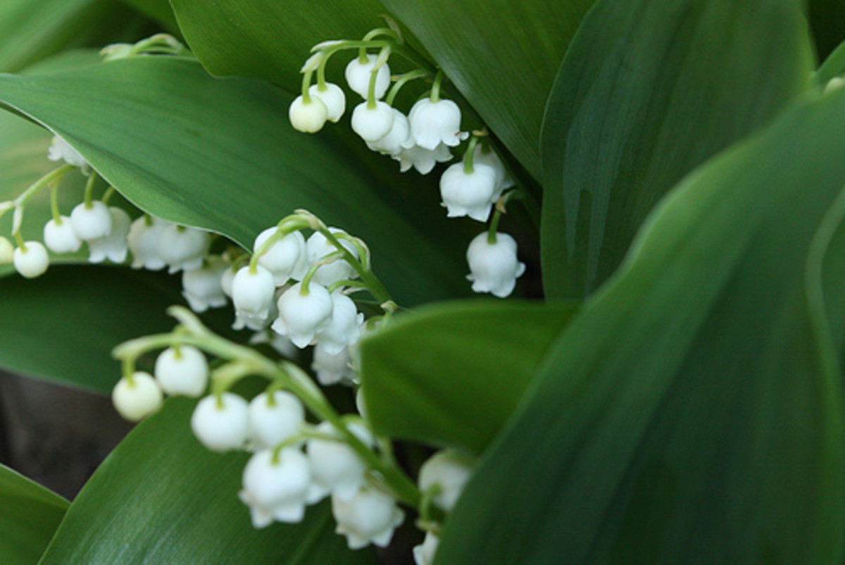Lily of the Valley. Other common poisonous lilies not shown here are: Peace Lilies and the Giant Dracaena or Palm Lily.