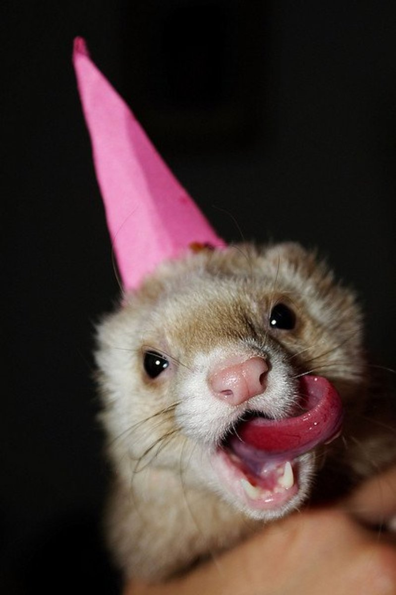 Ferrets love birthday parties!