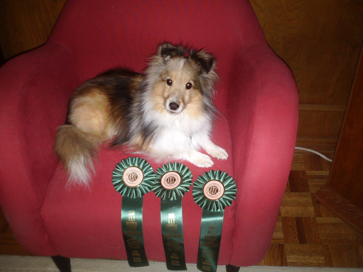 Author's sheltie, Aslan, with his Nationals qualifying ribbons from 2008.