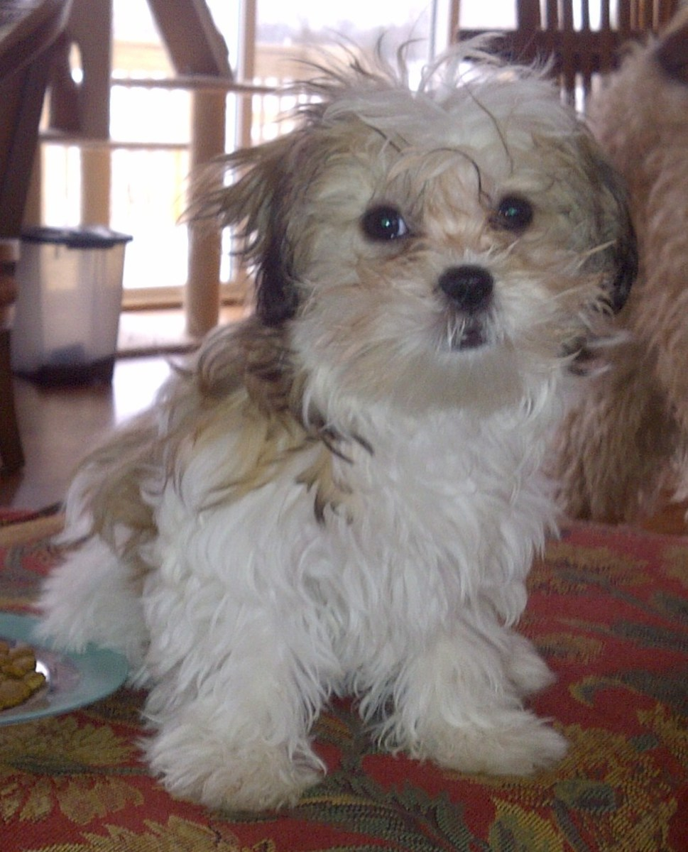 A Malshi is a cross between the Maltese and Shih-Tzu breeds