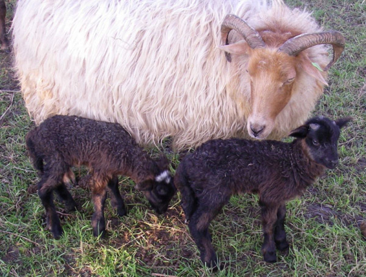 Multicolored Drenthe Heath Sheep