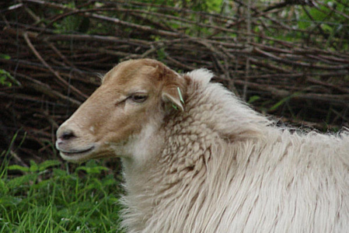 Old type hornless Drenthe Heath Sheep ewe