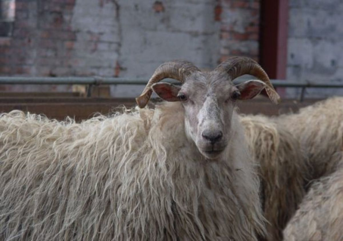 Old type horned Drenthe Heath Sheep Ewe