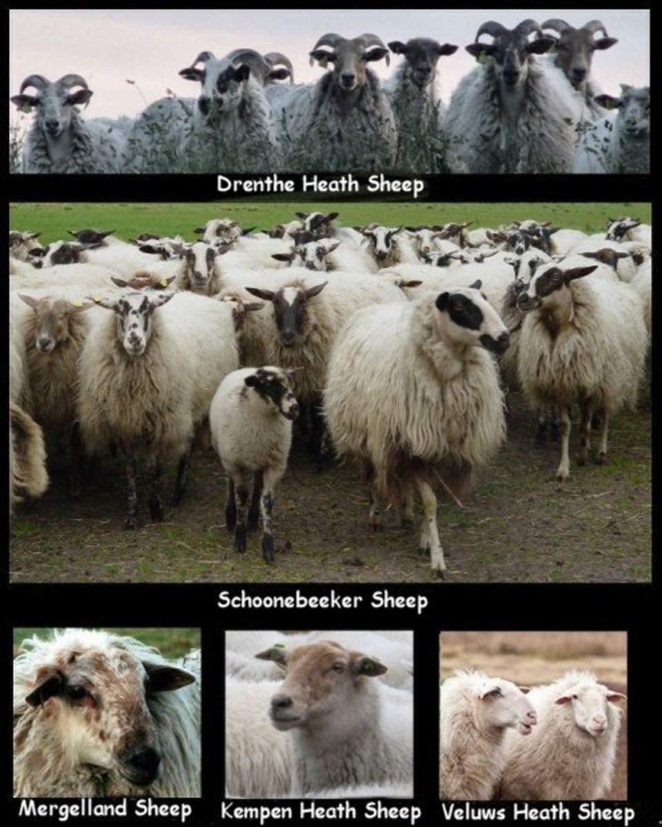 The 5 Native Heath Sheep Breeds of the Netherlands