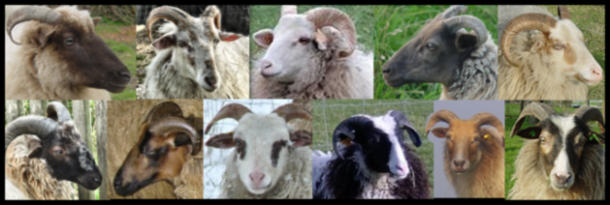 Drenthe Sheep Are a Multicolored Breed