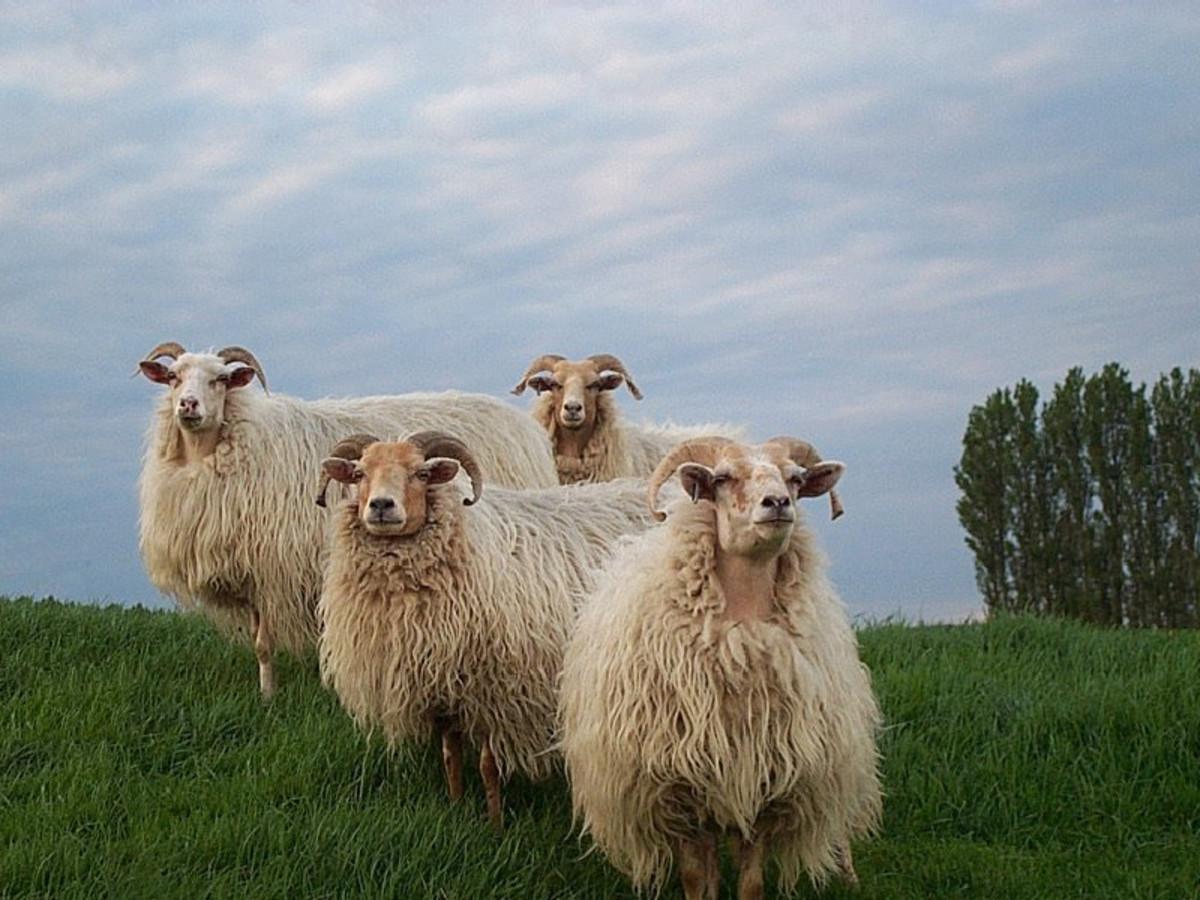 Little flock of Drenthe Heath Sheep
