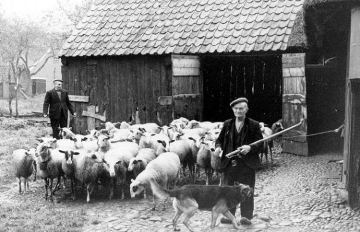 Old Postcard of Schoonebeeker Sheep herd