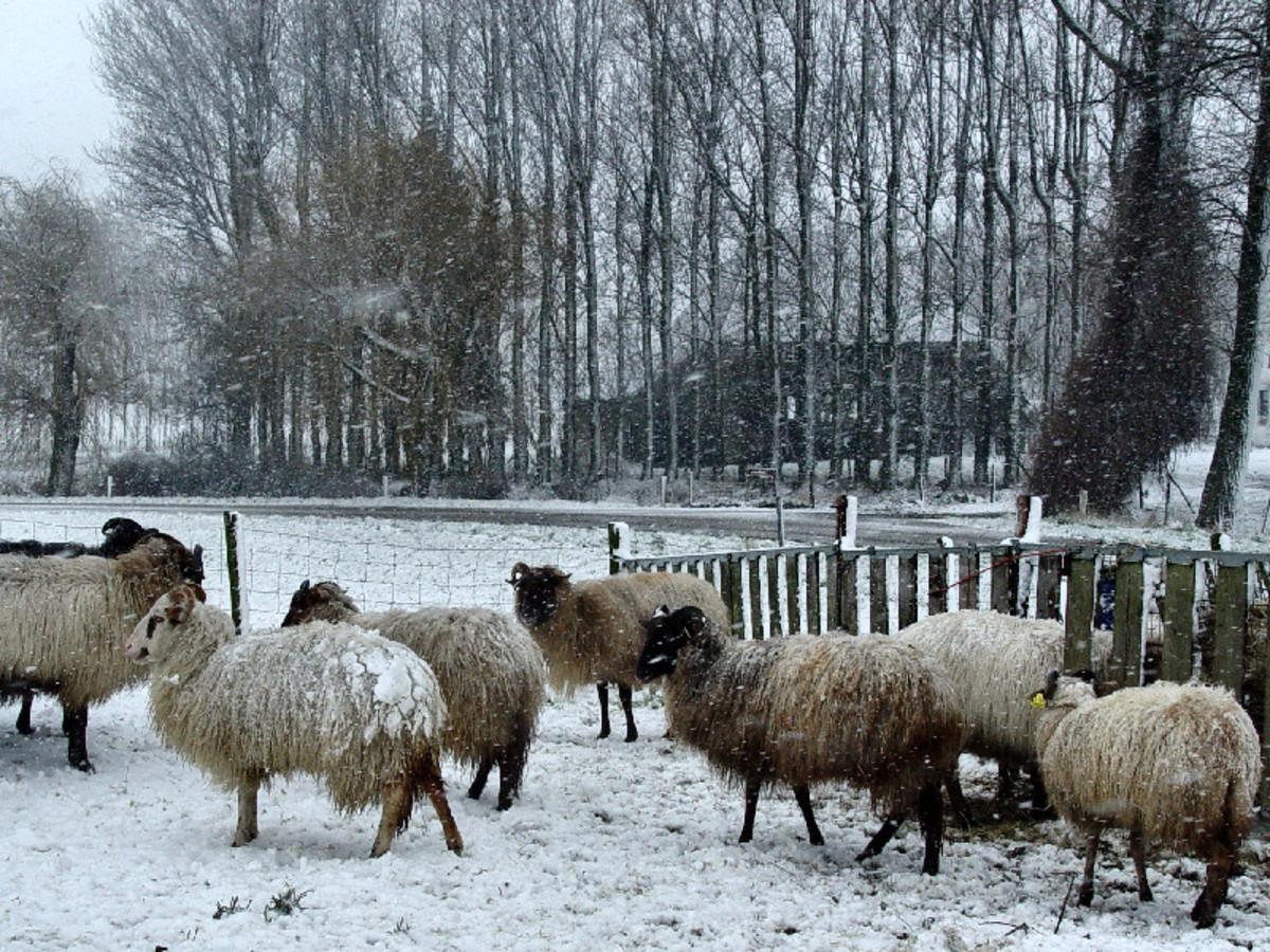 Drenthe Heath Sheep in Winter