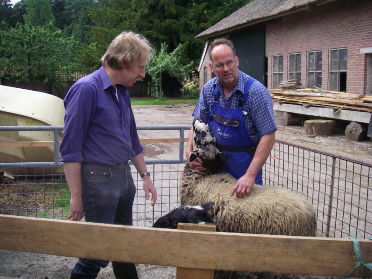 Inspecting a Schoonebeeker ewe