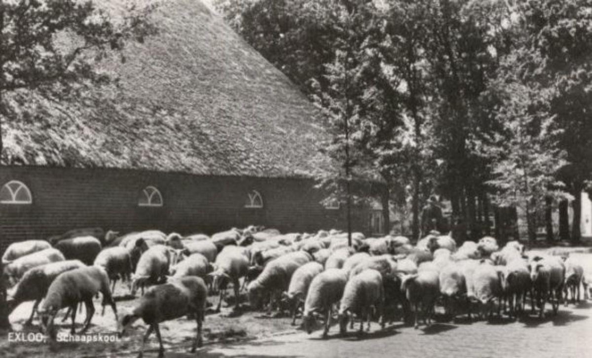 Old Postcard of Drenthe Heath Sheep herd in Exloo the Netherlands