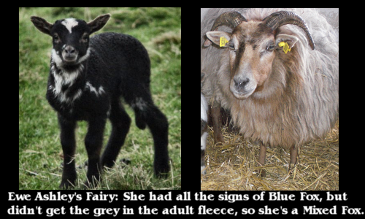 raising-rare-breed-sheep