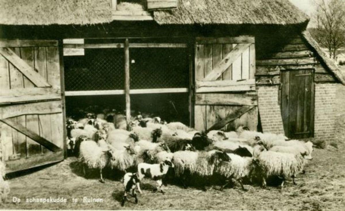 Old Postcard of a big Drenthe Heath Sheep Herd