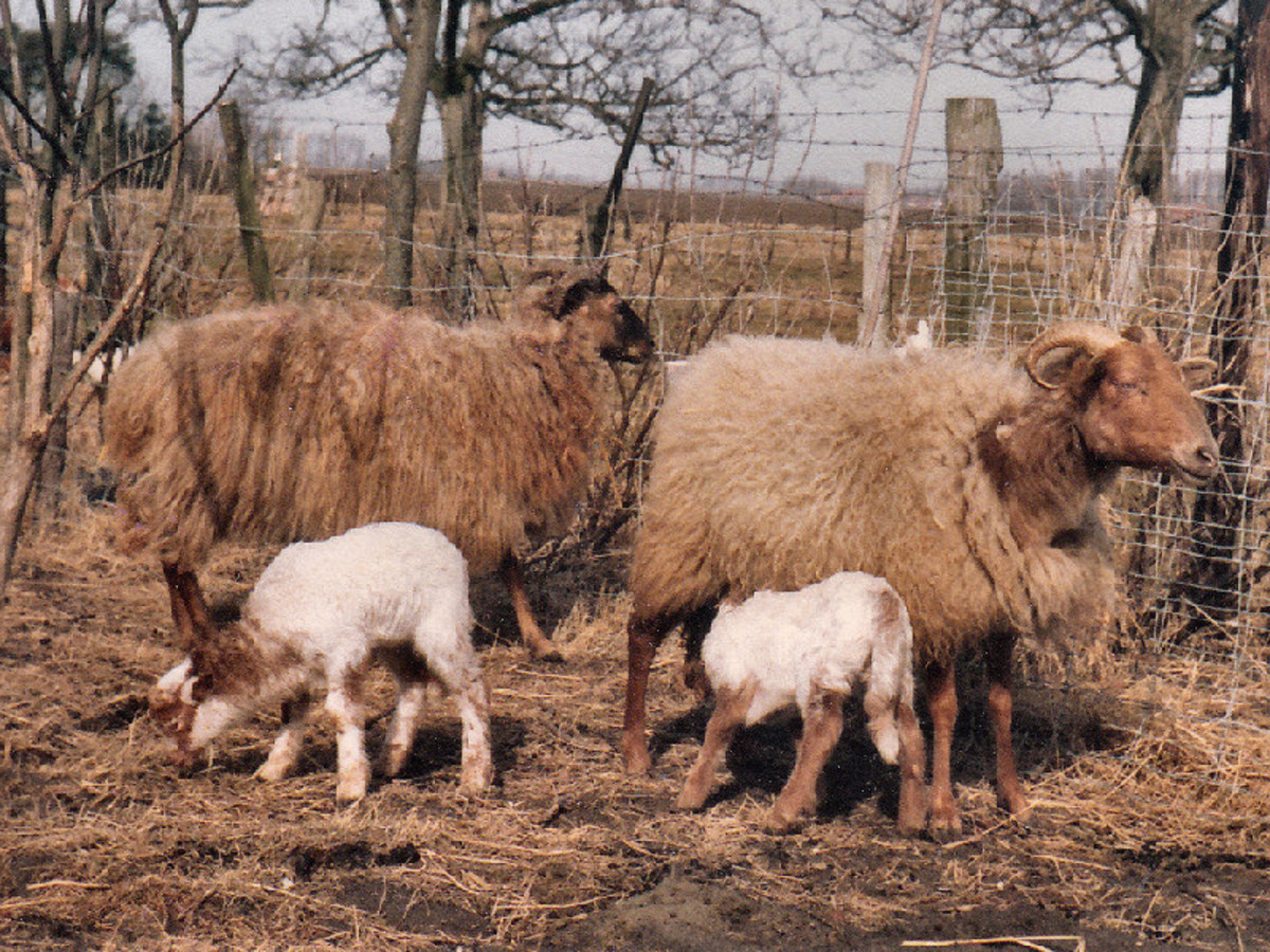 My first two Drenthe Heath Sheep ewes with lambs