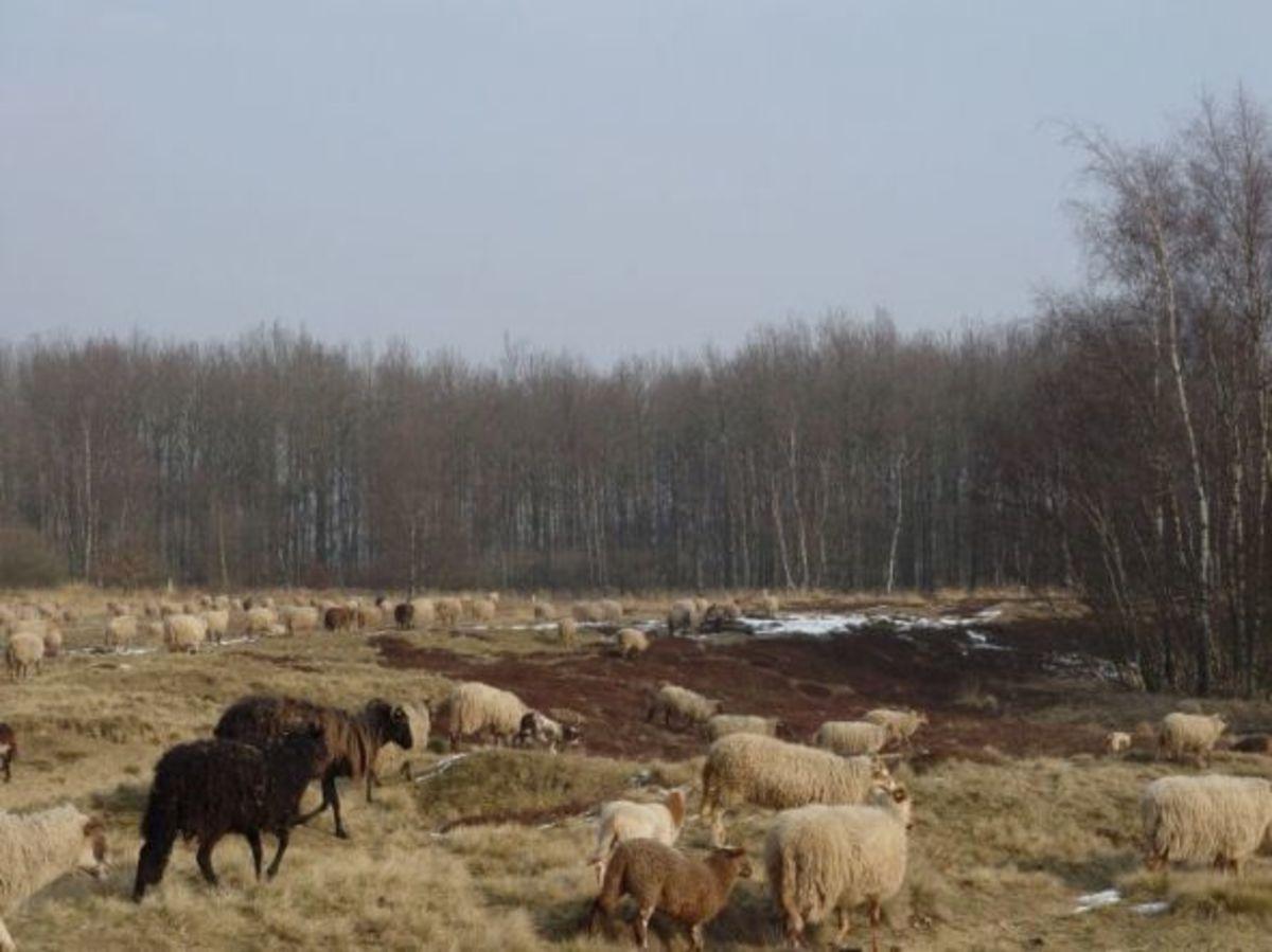 Dutch heather fields with Drenthe Heath Sheep flock