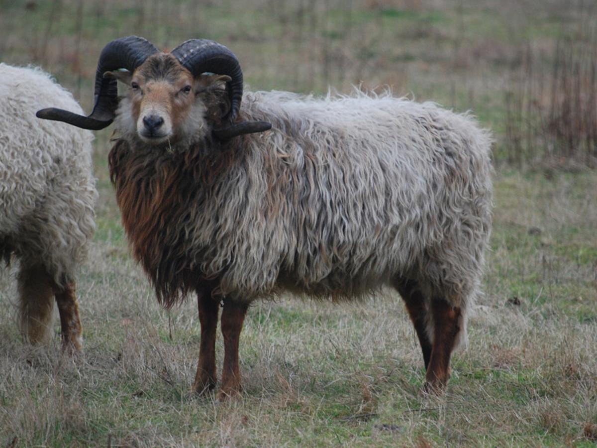 Old type of Drenthe Heath Sheep ram