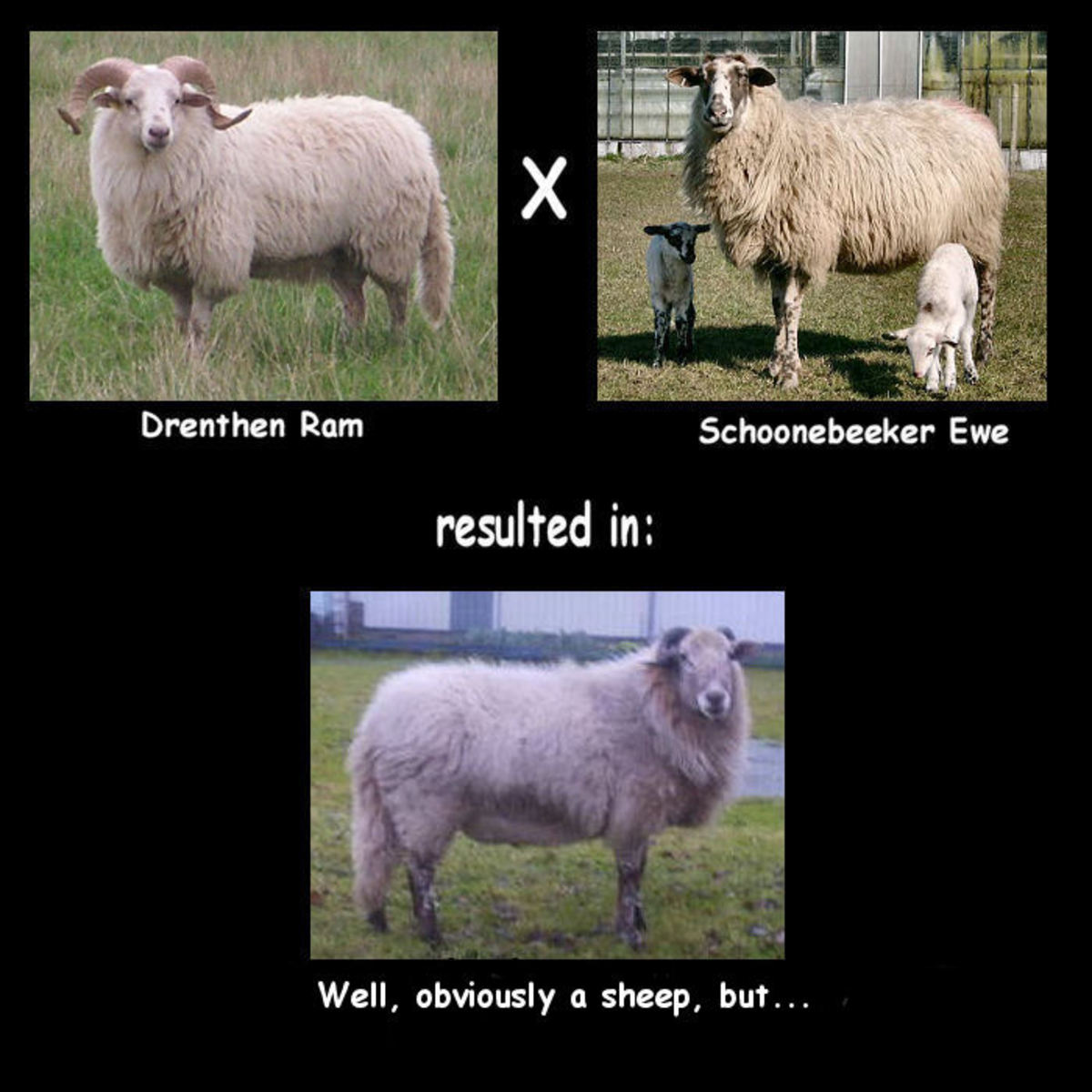 The Near Extinction of Two Beautiful Breeds due to crossbreeding