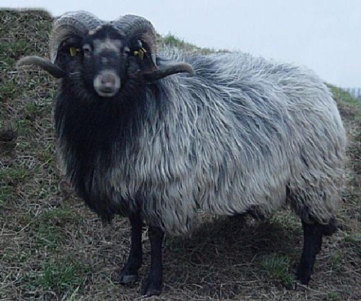 Black Drenthe Heath Sheep ram