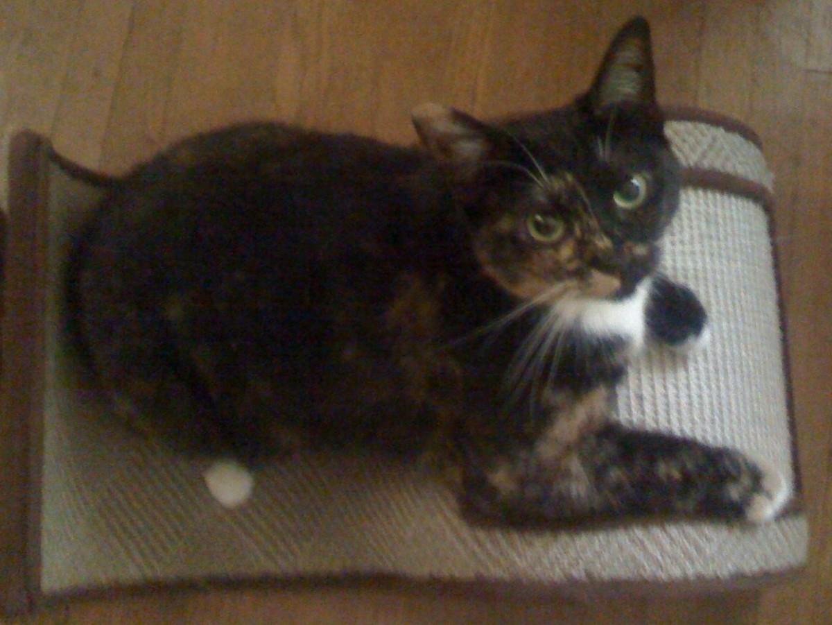 Cat enjoying a scratching toy.