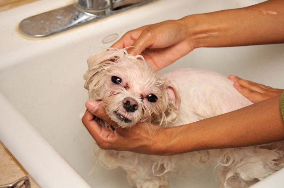 Washing a dog with medicated shampoo may give him some relief