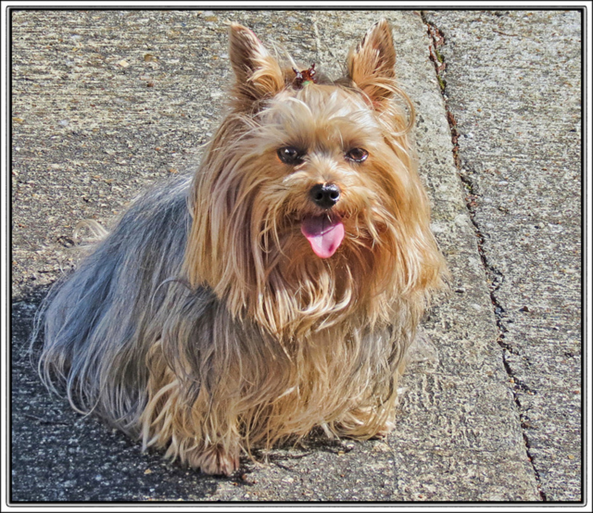 Even with long hair, Yorkshire Terriers look tiny.