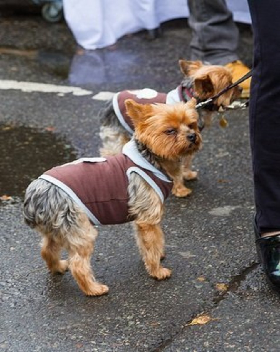 Tiny dogs need special treatment when it gets cold. These Yorkies don't seem to mind.