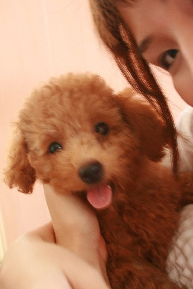 The Toy Poodle is an intelligent dog.
