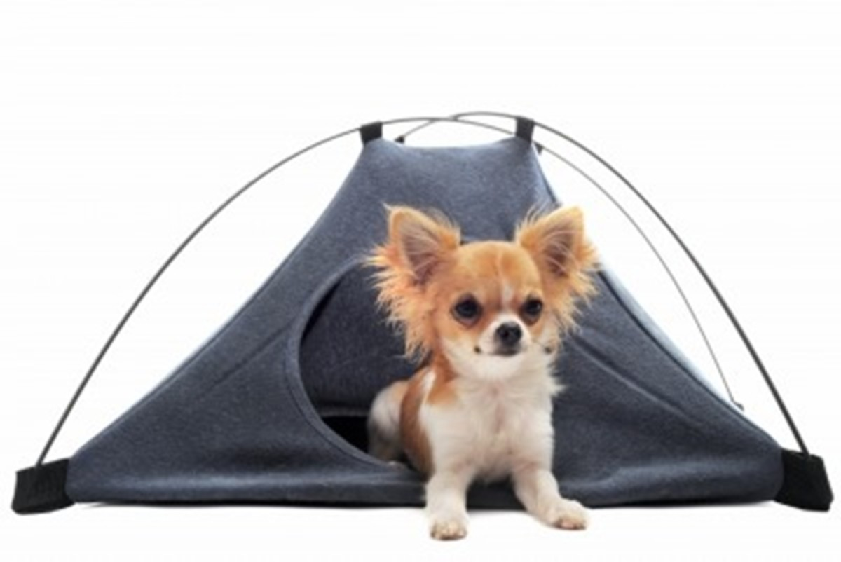 This little chihuahua evidently likes his tent bed where he can hide away in safety