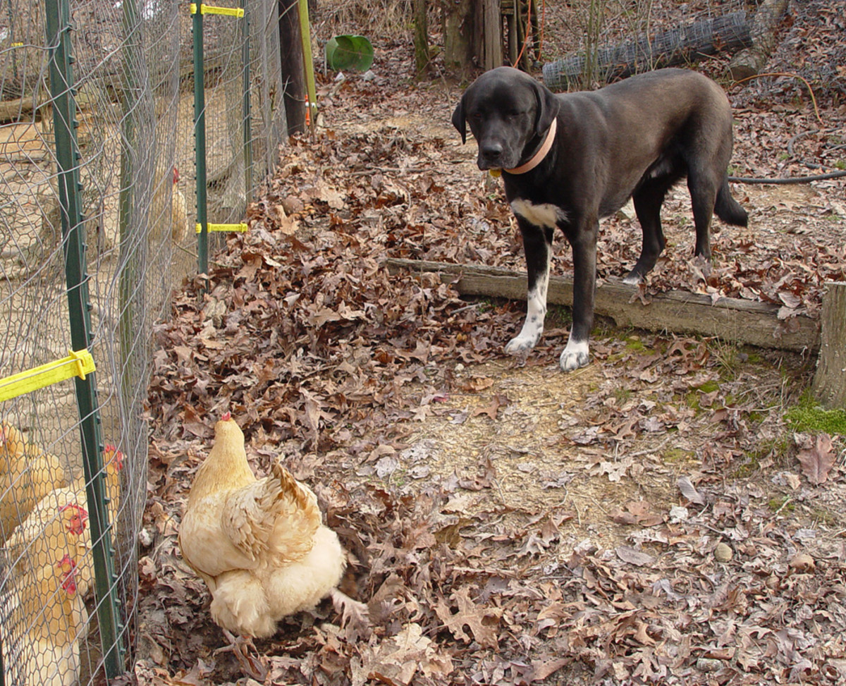 """Using """"Off!"""" in the Chicken Pen"""