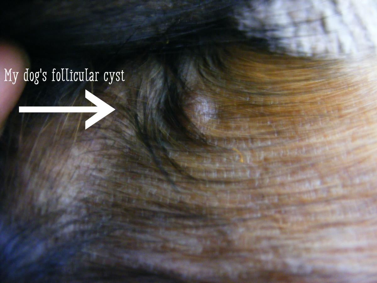 Apocrine Sweat Gland Cyst Dog Ear