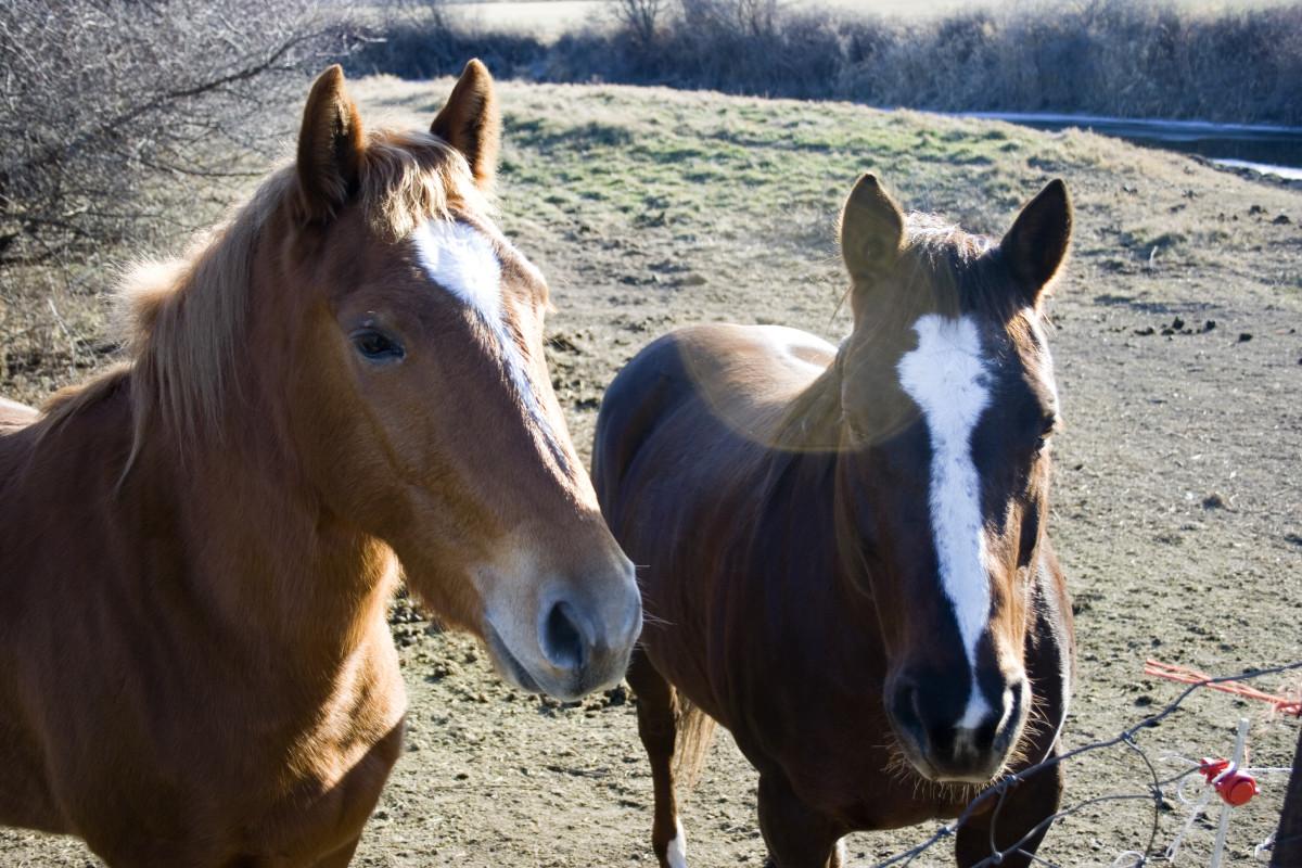 Grade horses
