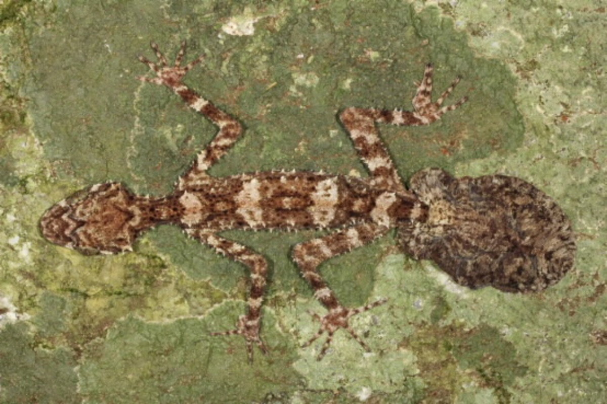 Cape Melville Leaf-tailed Gecko