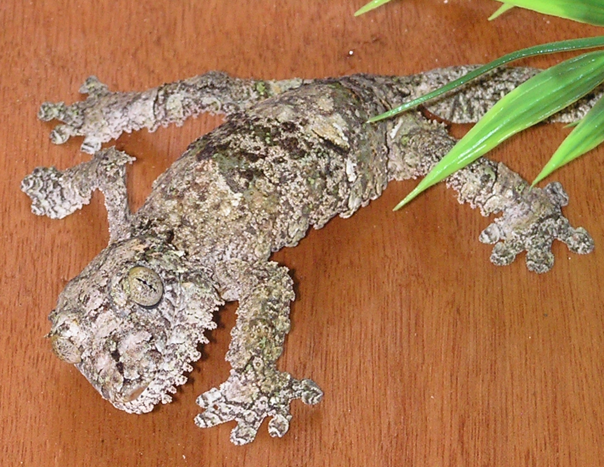 Uroplatus sikorae, leaf tailed gecko