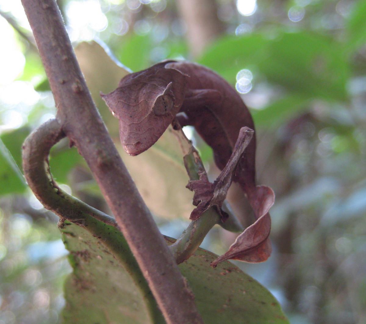 Uroplatus phantasticus (Leaf Tailed Gecko)