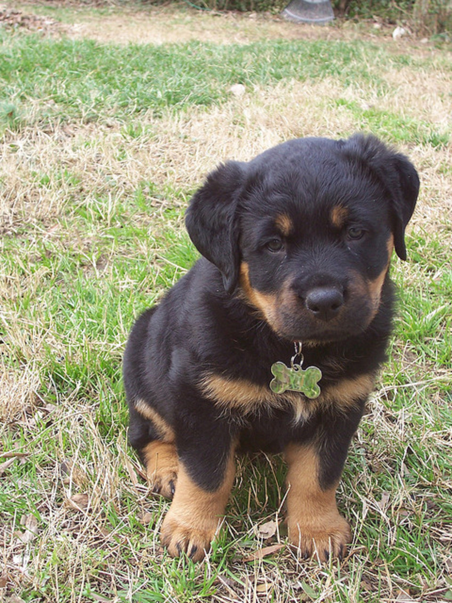 A Rottweiler puppy at 6 weeks of age.