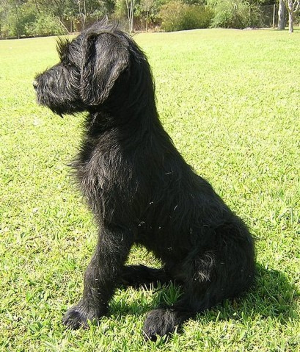 Giant Schnauzer puppy.