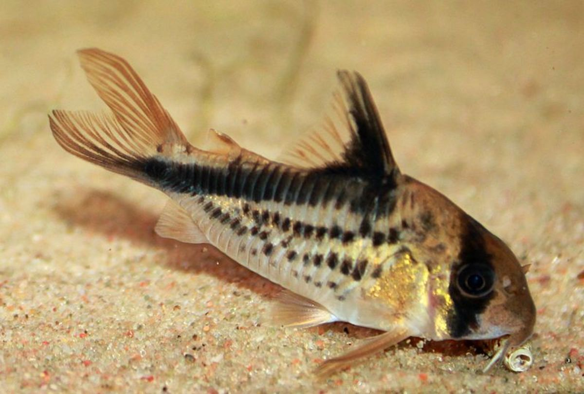 The little cory catfish is a great fish for beginners.