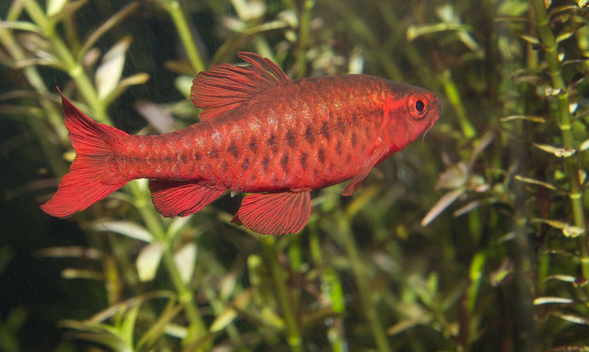 Cherry Barb (male)