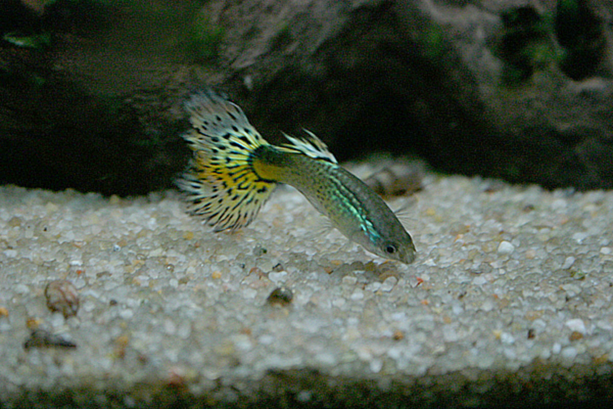 Guppies are hardy and colorful little fish and a great choice for kids.