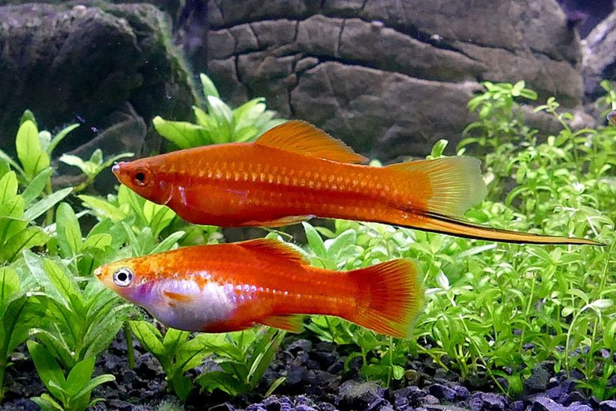 Male and female swordtails