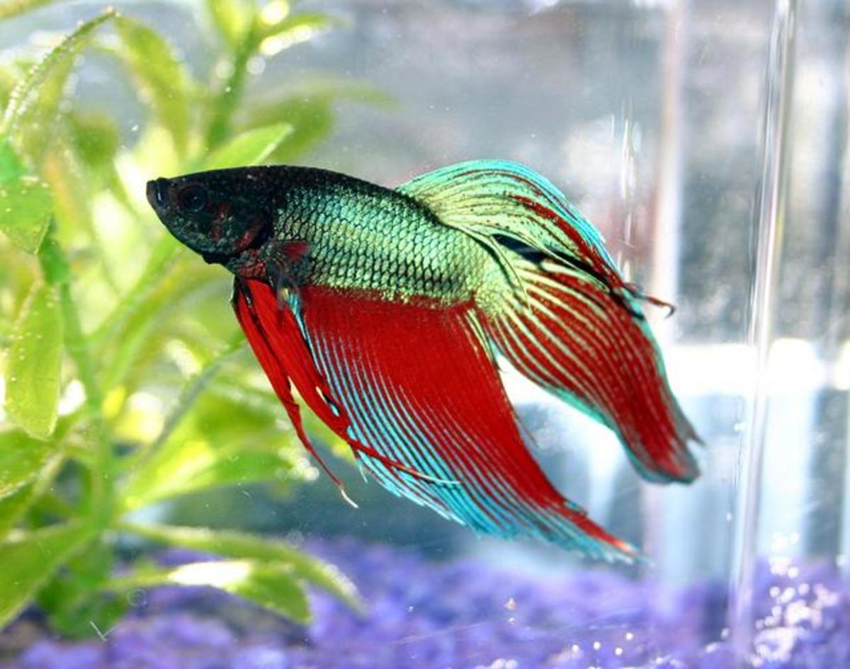 Consider a Betta for your 10-gallon tank. They don't belong in plant vases and tiny cubes!