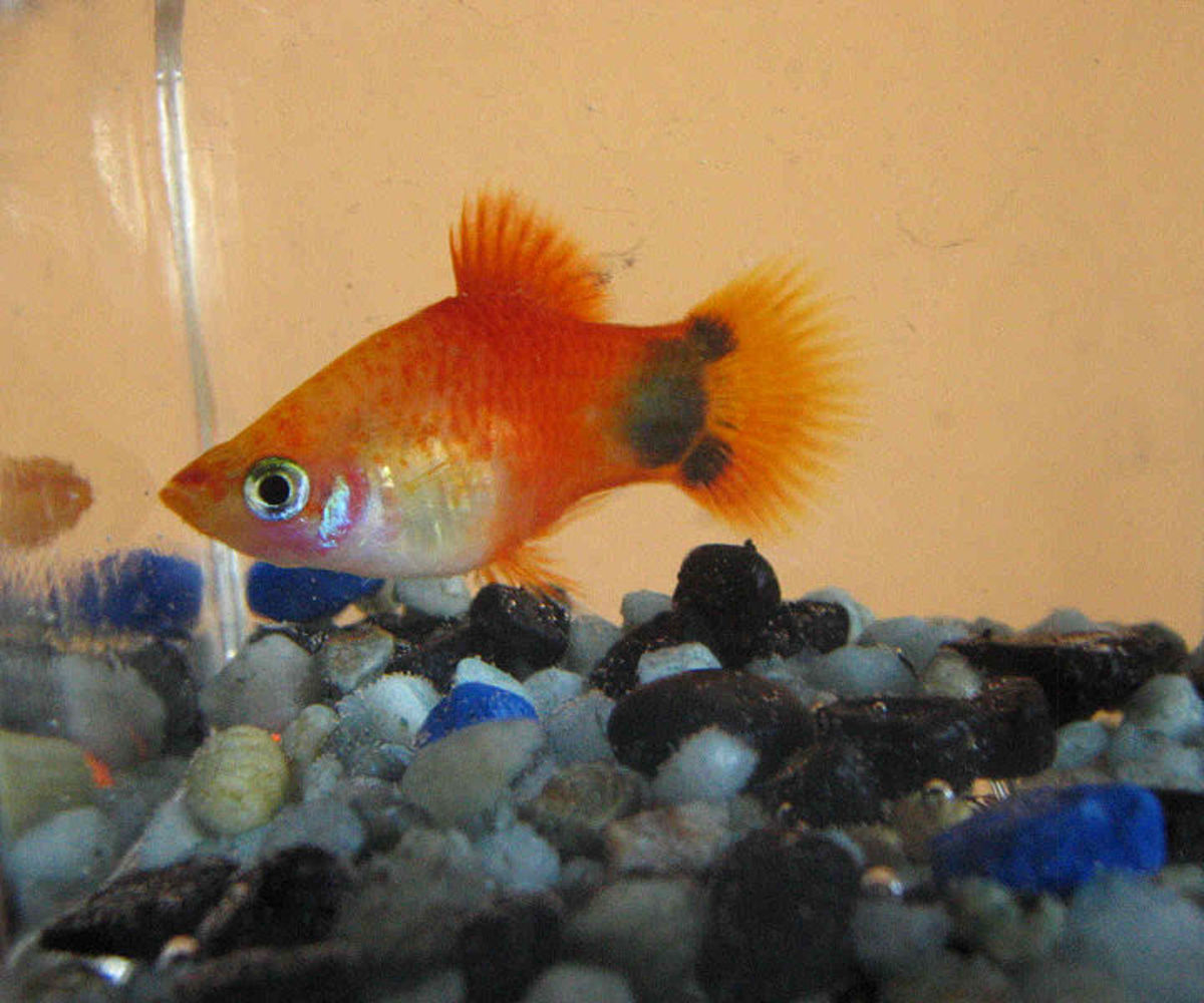 peaceful community fish for a freshwater aquarium pethelpful