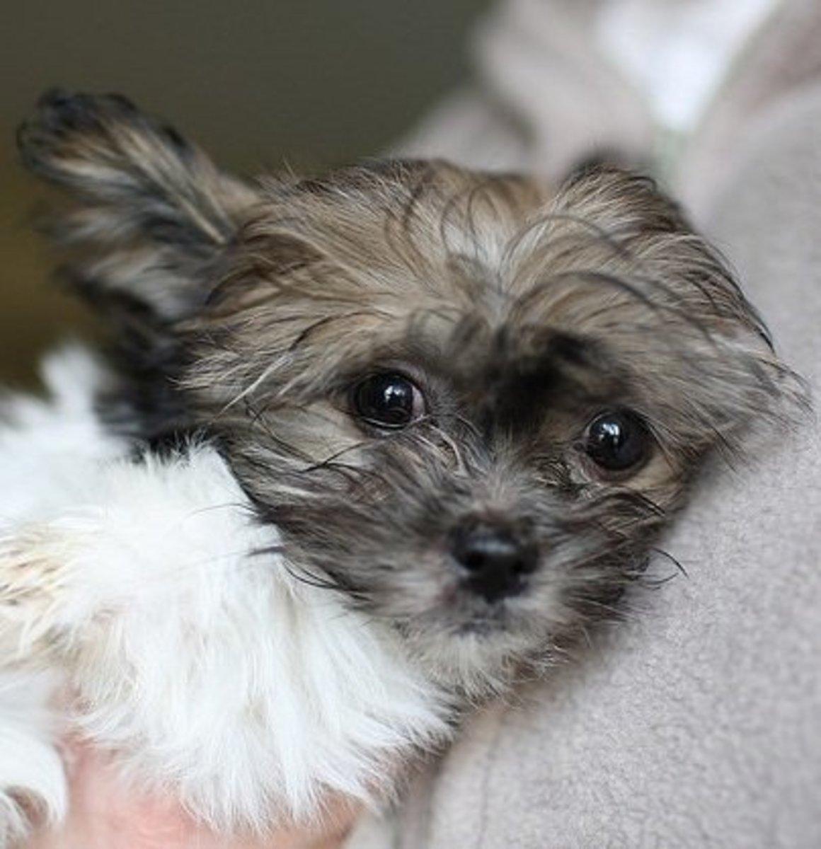 A Mi-Ki, a rare American dog breed.