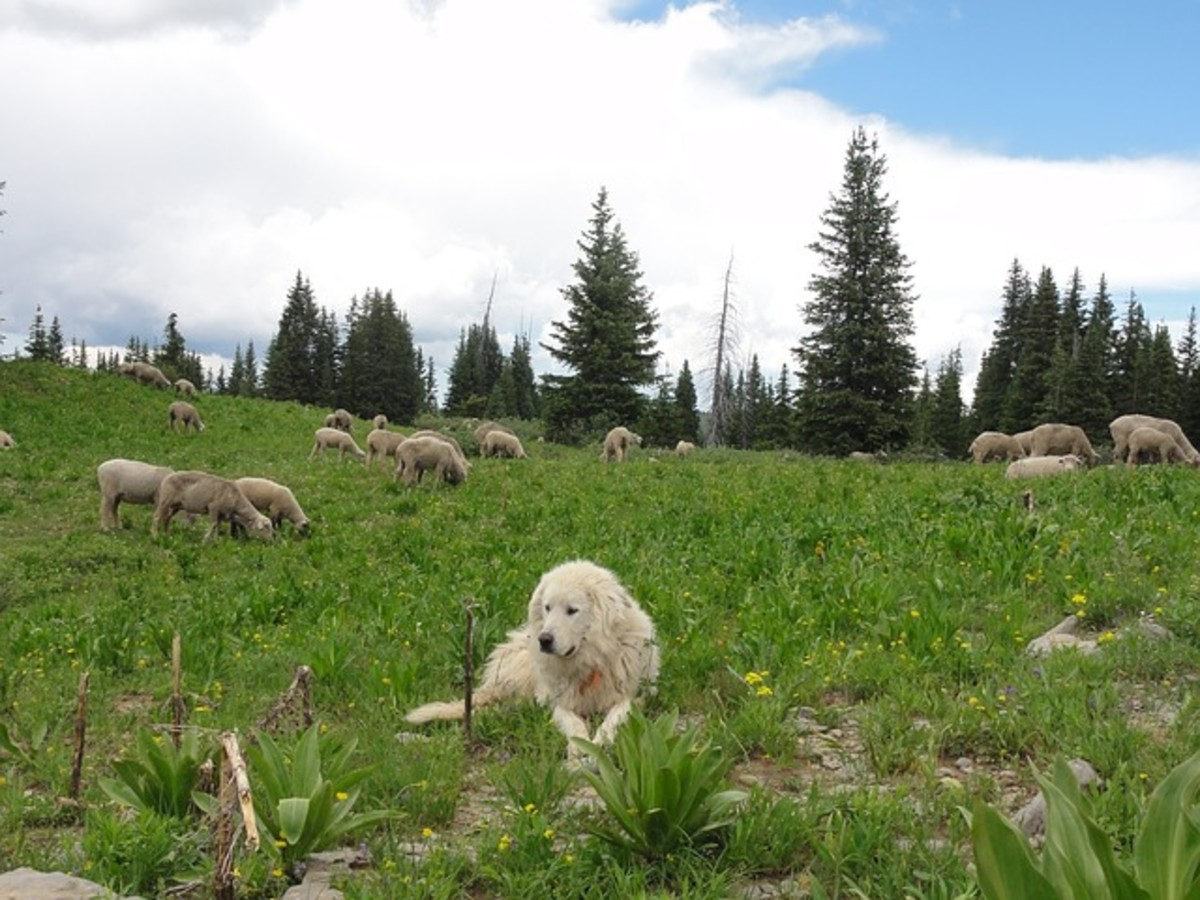 A dog watching the sheep.
