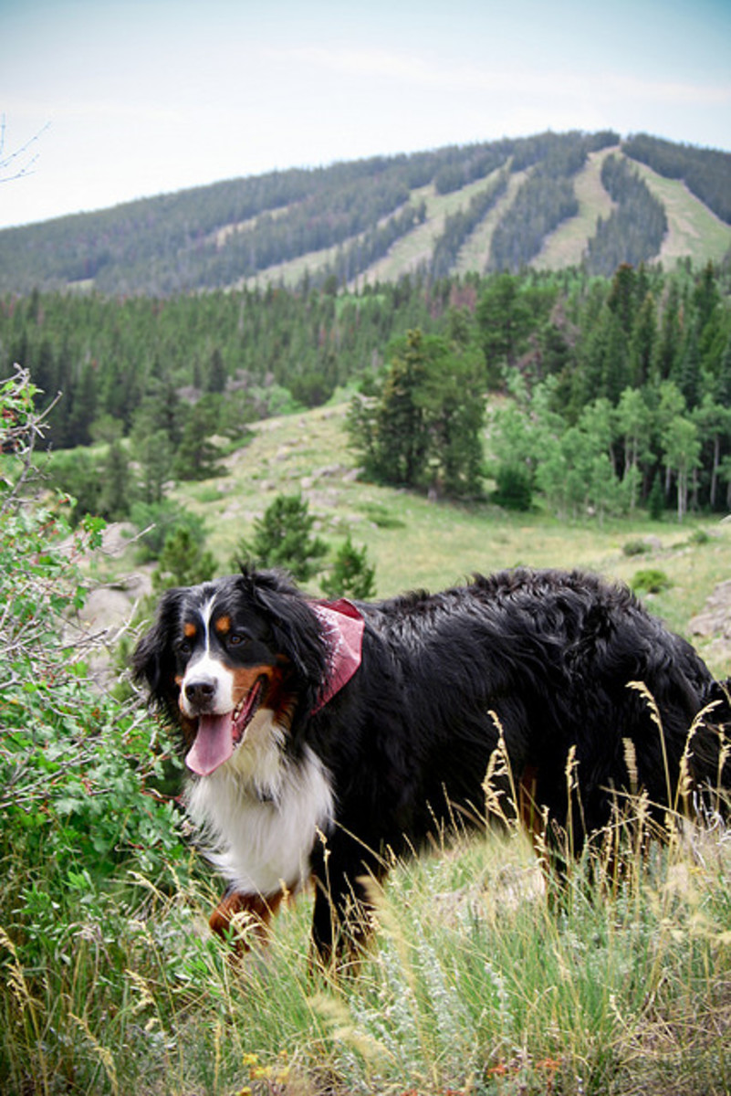 A Bernese Mountain Dog out for a hike.