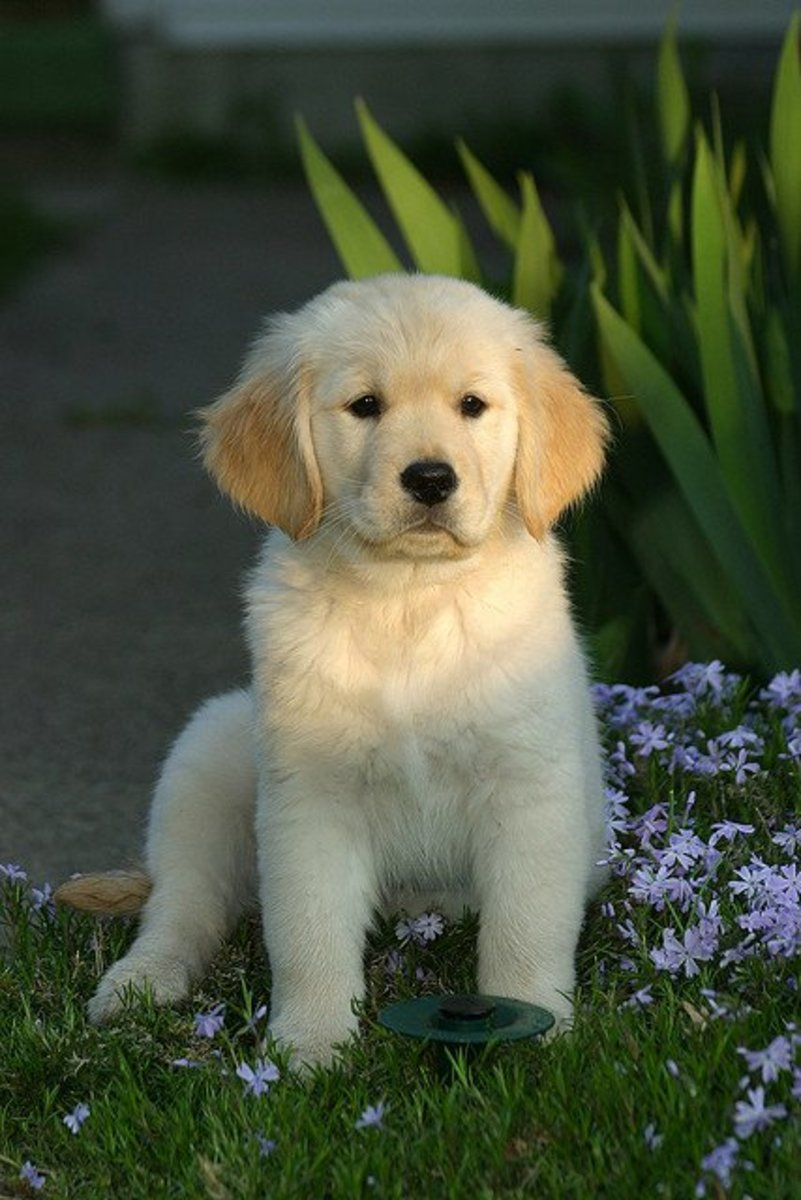 A Golden Retriever puppy looking...well, Golden.