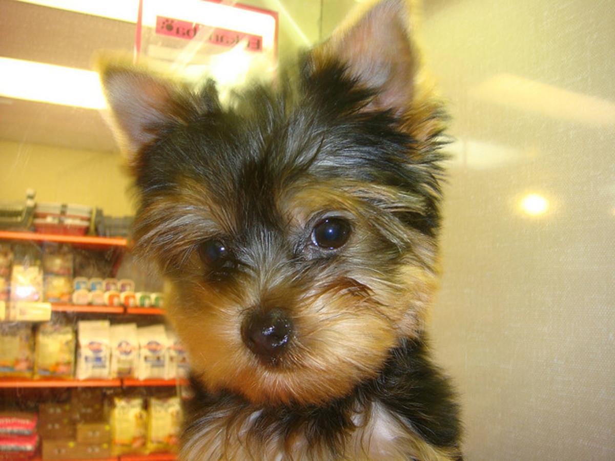 A Yorkie puppy.