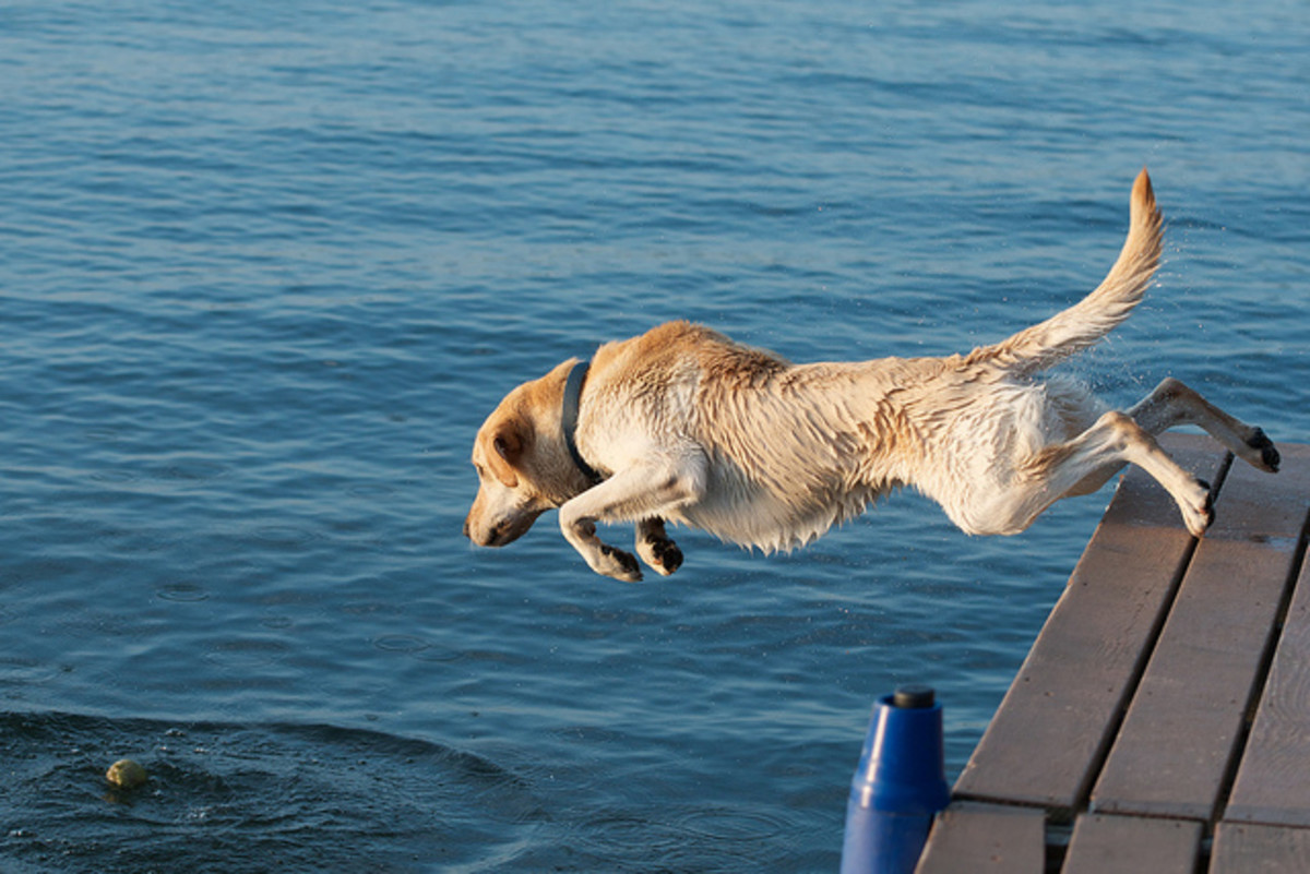 A Lab jumping off of a dock.