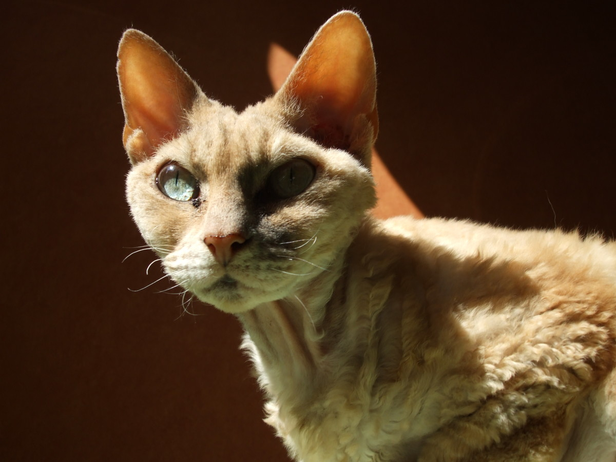 Devon Rex- a hypoallergenic cat breed
